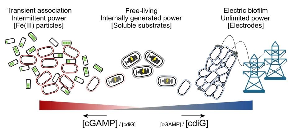 cGAMP Model